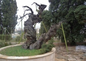 Мамврийский дуб. Хеврон. Израиль. Современный вид.